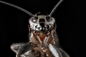 """Cricket, face"" by USGS Bee Inventory and Monitoring Lab"